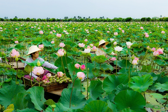 Lotus Field, Nakhon Pathom